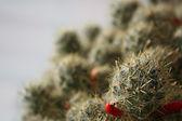 Cactus su sfondo bianco — Foto Stock