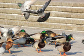 Park pigeons and duck — Stock Photo