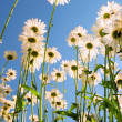 Daisies against sky — Stock Photo