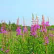 Stock Photo: Willow-herb (Epilobium)