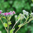 Burdock, burdock (Arctium) - Stock Photo
