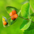 Honeysuckle, honeysuckle, decorative — Stock Photo