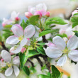 A branch of apple blossoms. — Stock Photo