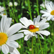 Ladybird on a white daisy. — Stock Photo #10619276