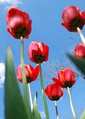 Red tulips. — Stock Photo