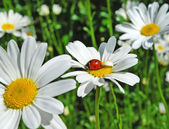 Ladybird on a white daisy. — Stock Photo