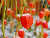 Orange physalis for the first snow in November. — Stock Photo