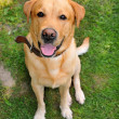 Stock Photo: Dog breed Labrador