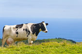 Cow By The Sea — Stock Photo