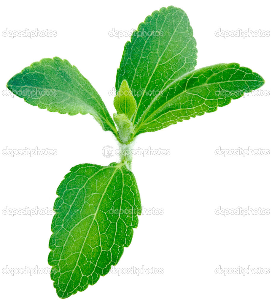Stevia rebaudiana, sweet leaf plant, sugar substitute isolated on white background with copy space  Stock Photo #10518910