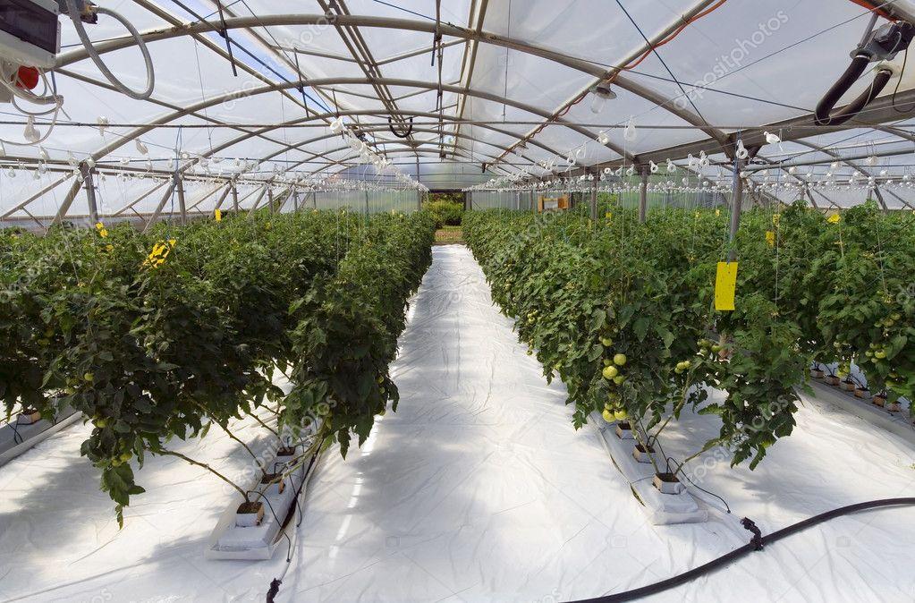Växthus Odla : Inne i växthuset ? stockfotografi � suljo