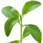 Stevia plant — Stock Photo