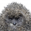 Dreamy Hedgehog — Stock Photo #9256521