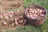 Свежие картофельные — Стоковое фото