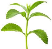 Stevia plant cutout — Stock Photo