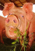 Scarry pig looking at camera — Stock Photo