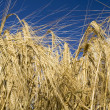 Cereal rye straw plants — Stock Photo #9793964