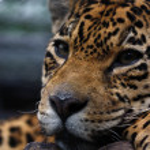 Leopard — Stock Photo #9155455