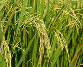 The Closeup of rice growing on the plant showing fine hair on th — Stock Photo