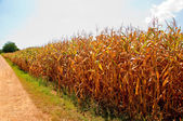The Corn field — Stock Photo