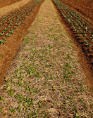 строки овощных растений, растущих на ферме с голубым небом и — Стоковое фото