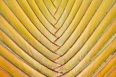 The Texture of banana fan background — Stock Photo