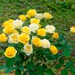 Stock Photo: Yellow and white rose