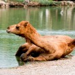 Stockfoto: Camel soak on water