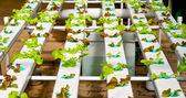 The Organic hydroponic vegetable garden — Stock Photo