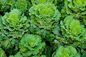 The Green cabbage on green house — Stock Photo