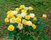 El amarillo y el blanco se levantó — Foto de Stock