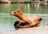 El camello remojo en el agua — Foto de Stock