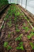 The Young carrot on green house — Stock Photo