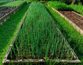 The Onion plantation in the vegetable garden — Stock Photo