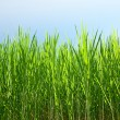 The Green plant of sugarcane background - Stock Photo