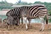 Zebra aile — Stok fotoğraf