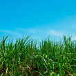 The Sugarcane field on blue sky background - Stock Photo