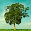 The Big green tree growing in the field - Stock Photo