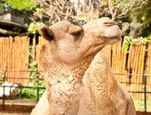 The Camel — Stock Photo