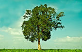 The Big green tree growing in the field — Stock Photo
