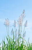 The White reeds on blue sky background — Stock Photo