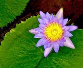 The Closeup of lotus — Stock Photo