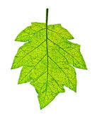 The Imprint of leaf isolated on white background — Stock Photo