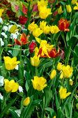 The Tulip garden — Stock Photo