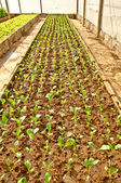 Plantskola grönkål på gröna huset — Stockfoto