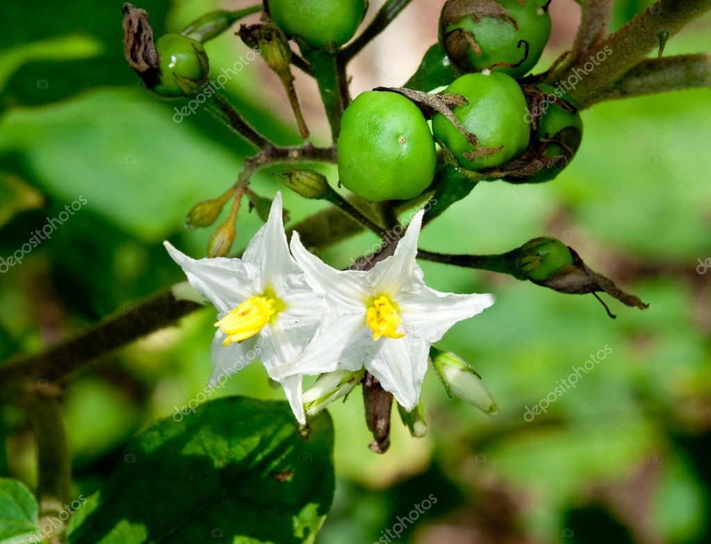 The Flower of thai eggplant  Stock Photo #10722327