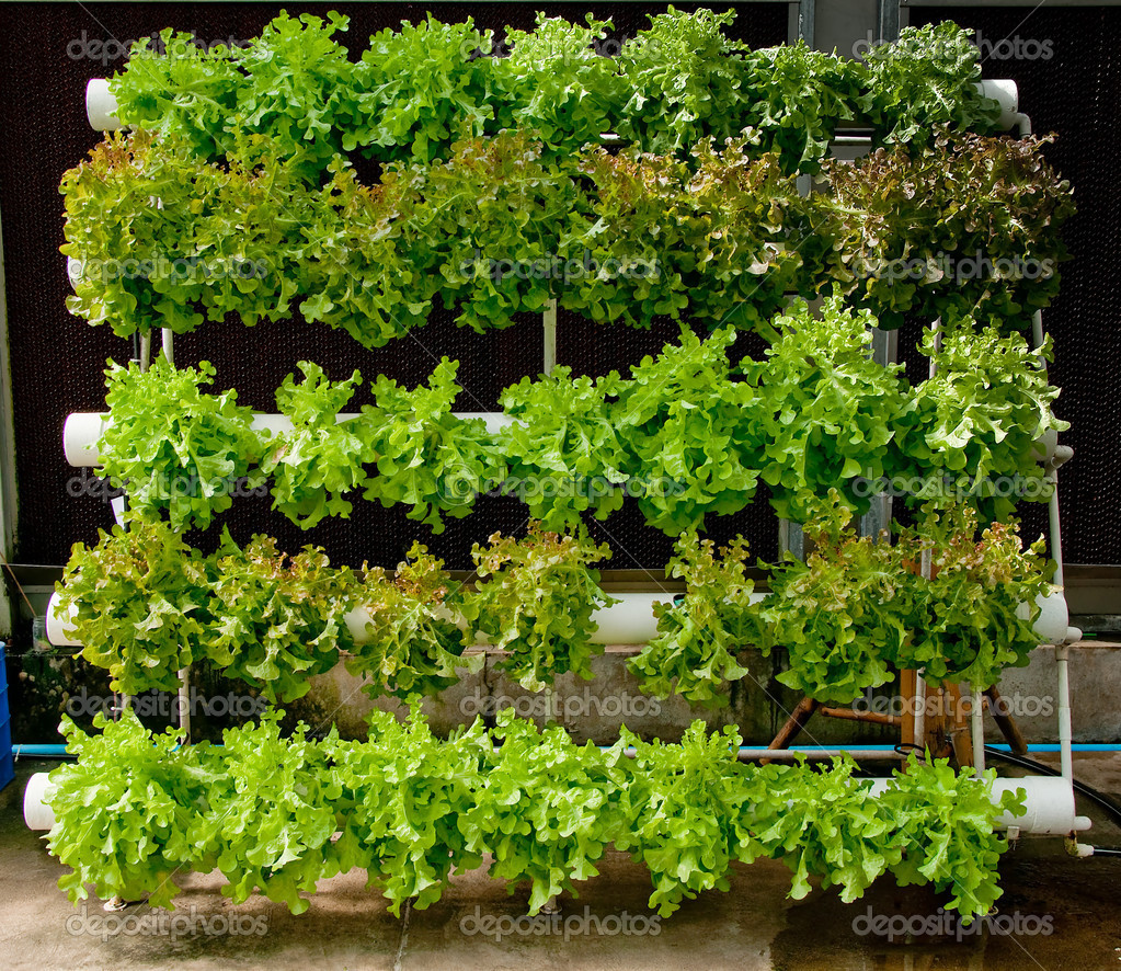 The Organic hydroponic vegetable garden — Stock Photo © cbenjasuwan ...