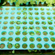 Royalty-Free Stock Photo: The Seedlings vegetable in plastic tray
