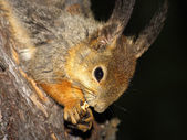 Squirrel with nut in claws — Stock Photo
