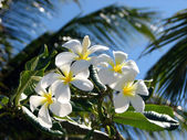 Frangipani or Plumeria Flowers — Stock Photo